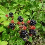 Blackberries_on_bush